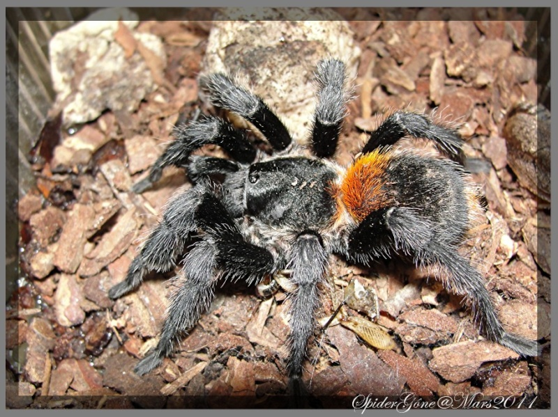 Euathlus sp   (Chili) Photo108