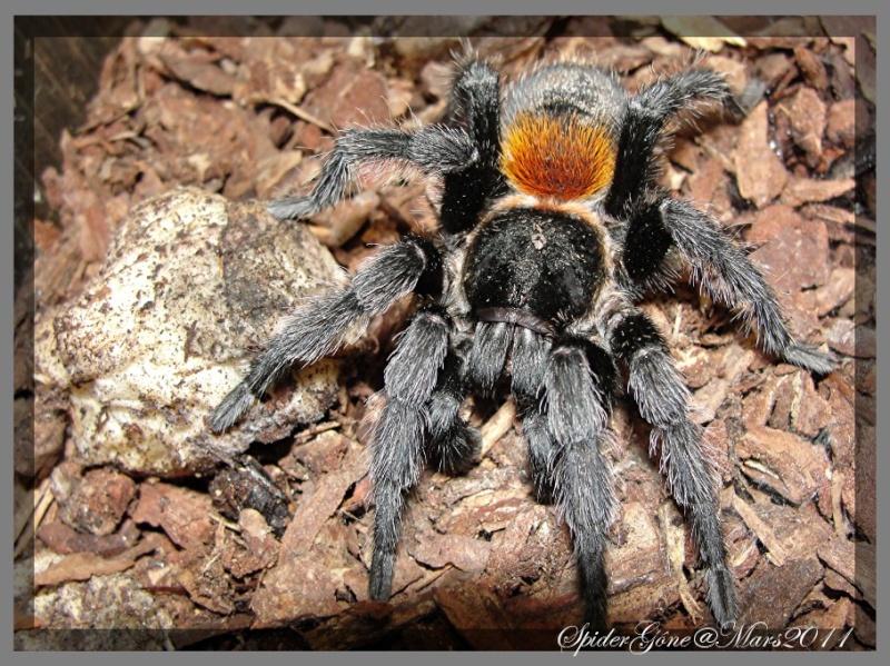 Euathlus sp   (Chili) Photo109