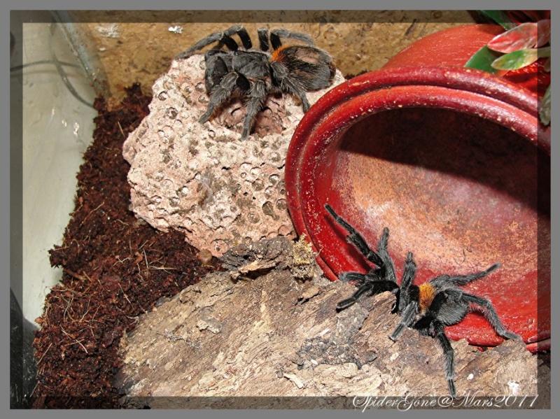 Euathlus sp   (Chili) Photo111
