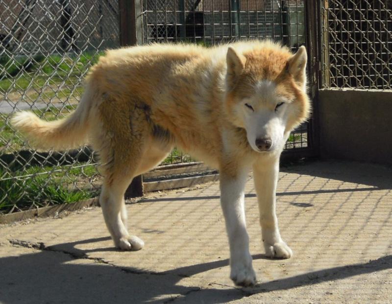 DIX, superbe husky roux, 14 ans ok congénères REF (58) Décédé Photos11