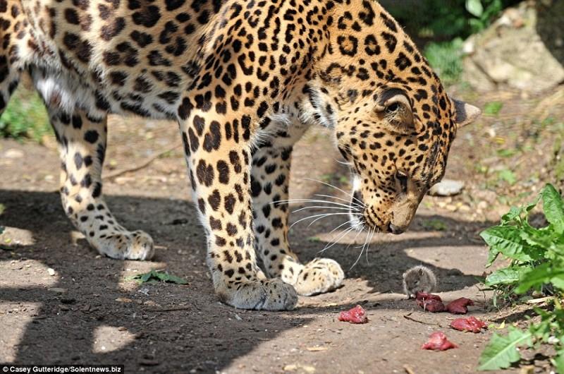 La souris et le léopard Laopar10