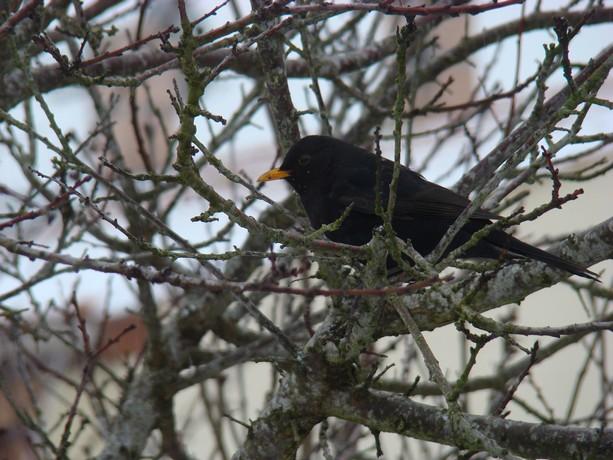 oiseaux d'hiver et oiseaux  divers Dsc01110