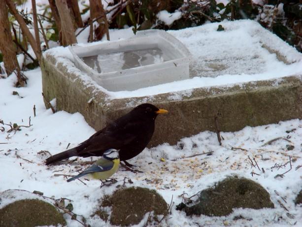 oiseaux d'hiver et oiseaux  divers Dsc01112