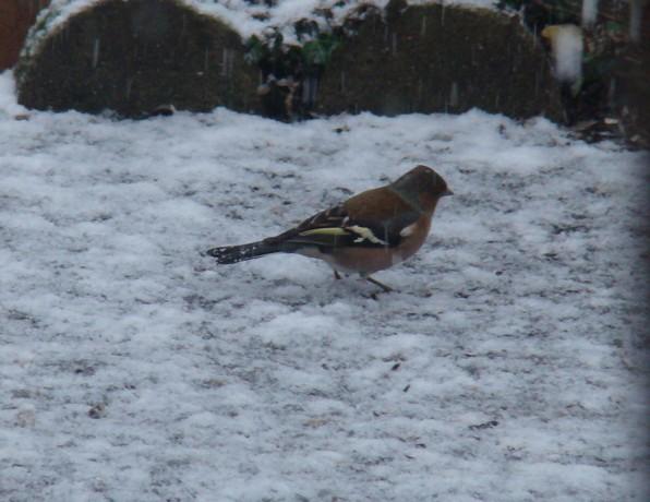 oiseaux d'hiver et oiseaux  divers Dsc01313