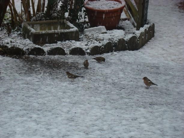 oiseaux d'hiver et oiseaux  divers Dsc01314