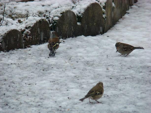 oiseaux d'hiver et oiseaux  divers Dsc01315