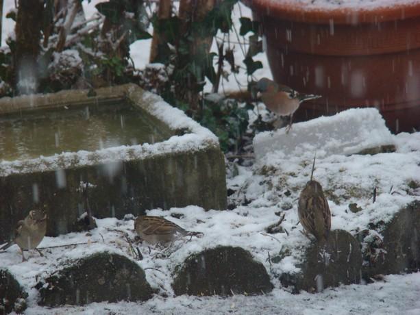oiseaux d'hiver et oiseaux  divers Dsc01316