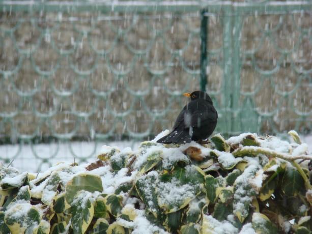 oiseaux d'hiver et oiseaux  divers Dsc01317