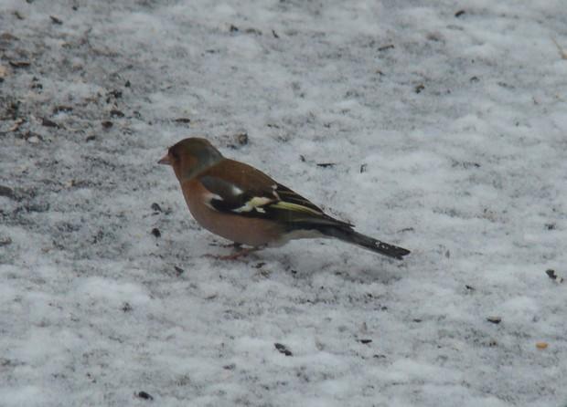 oiseaux d'hiver et oiseaux  divers Dsc01319