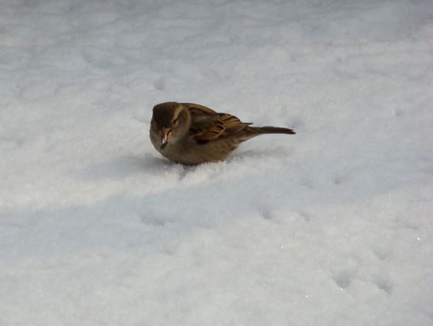 oiseaux d'hiver et oiseaux  divers Dsc01419