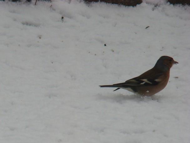oiseaux d'hiver et oiseaux  divers Dsc01420