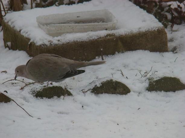 oiseaux d'hiver et oiseaux  divers Dsc01421