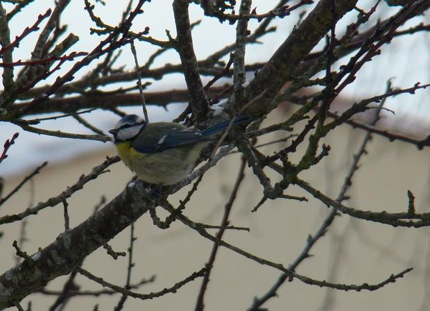 oiseaux d'hiver et oiseaux  divers Dsc01422