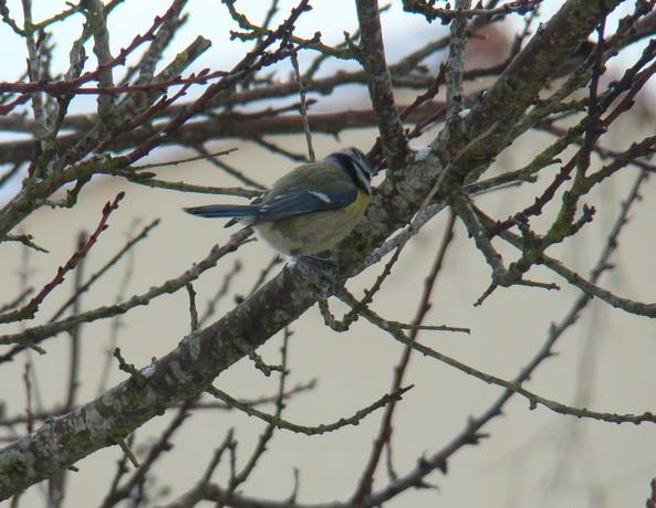 oiseaux d'hiver et oiseaux  divers Dsc01423