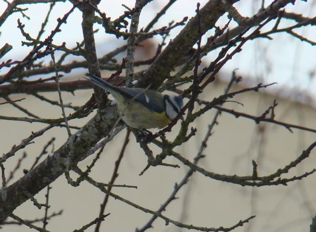 oiseaux d'hiver et oiseaux  divers Dsc01424