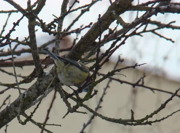 oiseaux d'hiver et oiseaux  divers Dsc01425