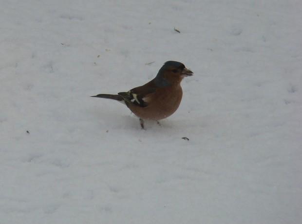 oiseaux d'hiver et oiseaux  divers Dsc01426