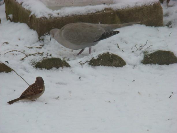 oiseaux d'hiver et oiseaux  divers Dsc01427