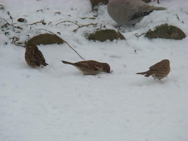 oiseaux d'hiver et oiseaux  divers Dsc01428