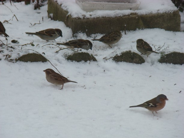 oiseaux d'hiver et oiseaux  divers Dsc01429