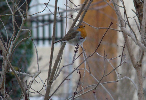 oiseaux d'hiver et oiseaux  divers Dsc01510