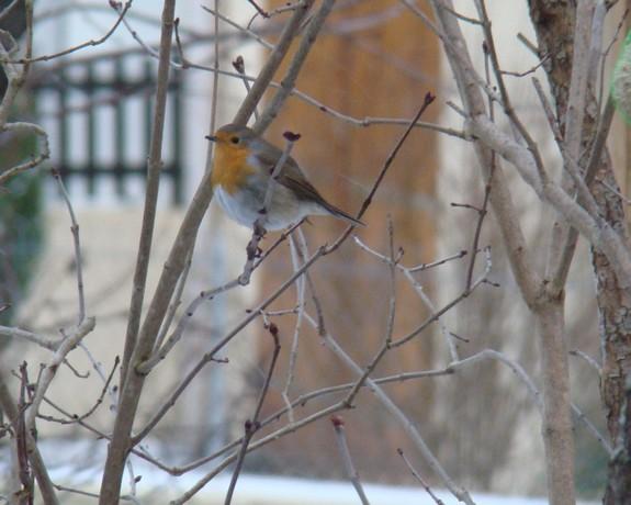 oiseaux d'hiver et oiseaux  divers Dsc01511