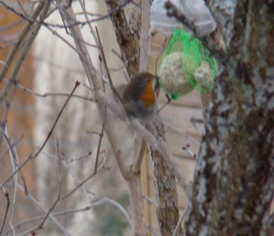oiseaux d'hiver et oiseaux  divers Dsc01512