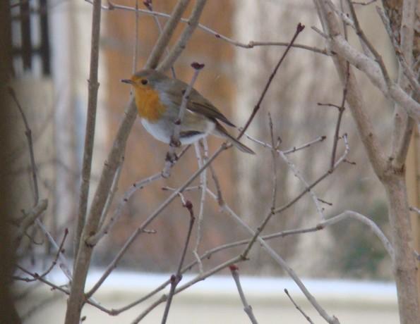 oiseaux d'hiver et oiseaux  divers Dsc01513