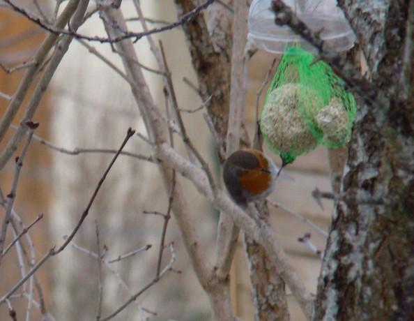 oiseaux d'hiver et oiseaux  divers Dsc01514