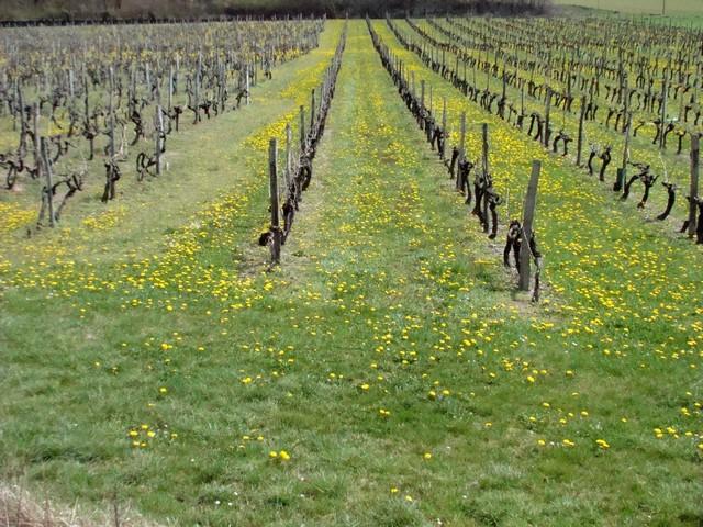 vigne de charente Dsc01815