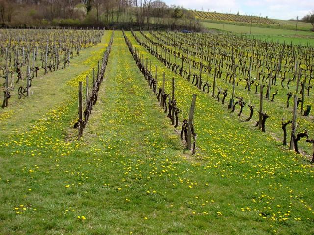 vigne de charente Dsc01816