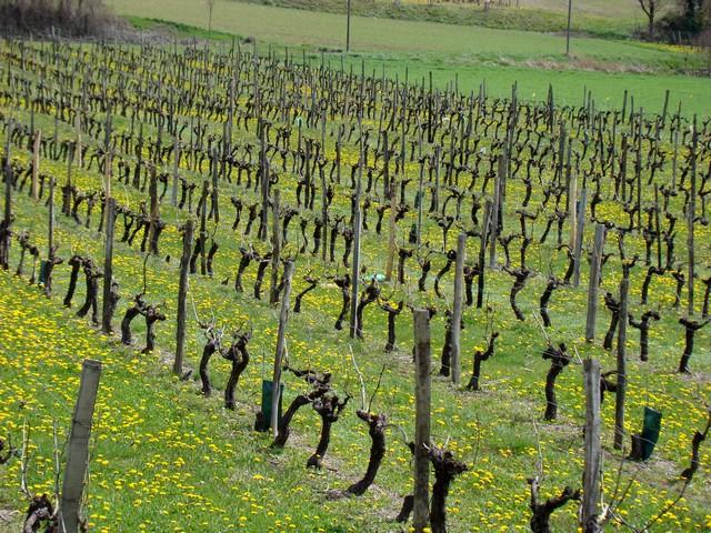 vigne de charente Dsc01817