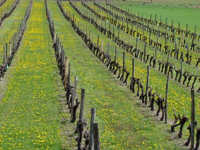 vigne de charente Dsc01818