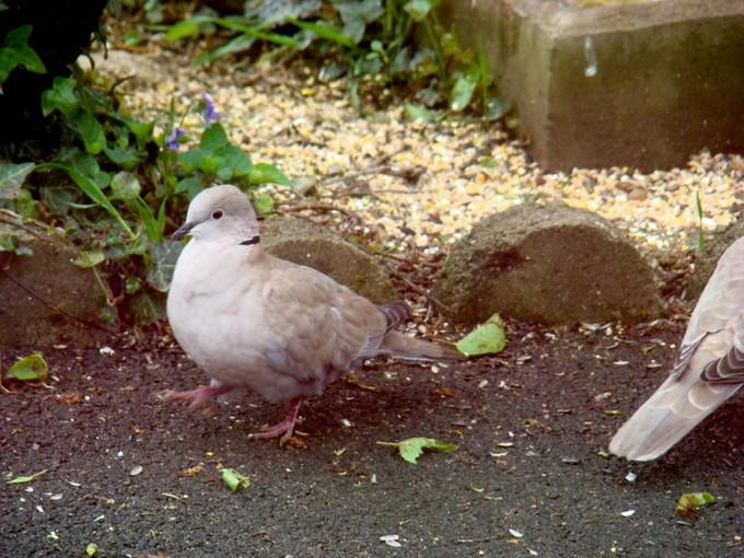 oiseaux de mon jardin 2011 Dsc06122