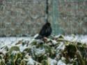 oiseaux d'hiver et oiseaux  divers Dsc01318
