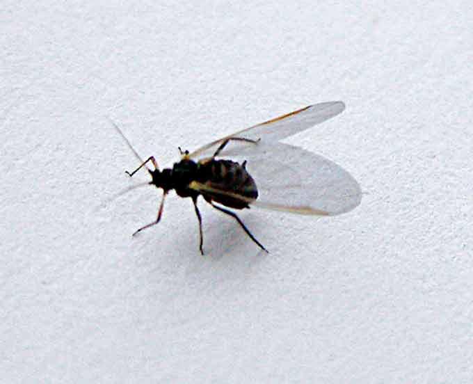 Invasion de mouches. Parasi10