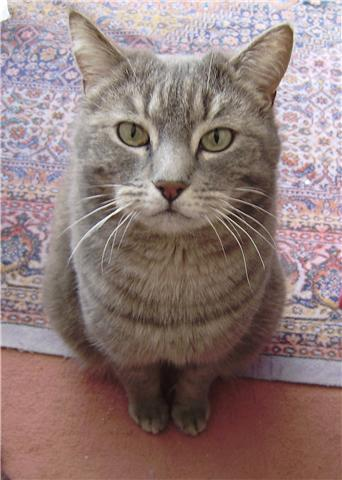 Trouvée à Colomiers chatte grise tigrée - 12/09 Trouve15