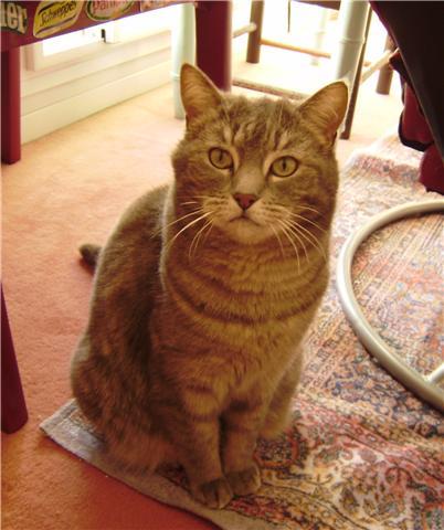 Trouvée à Colomiers chatte grise tigrée - 12/09 Trouve16