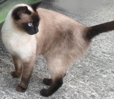 Trouvé à Colomiers, quartier Monturon-Perget, chatte typée siamoise Trouve20