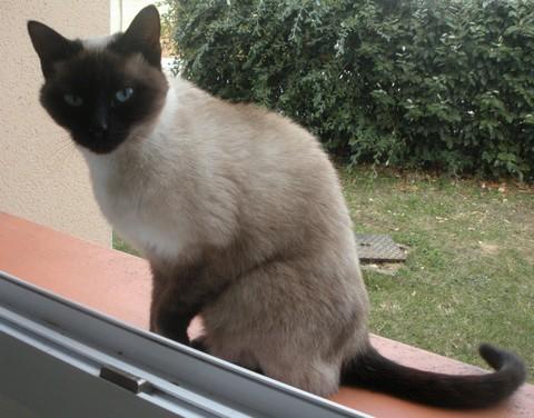 Trouvé à Colomiers, quartier Monturon-Perget, chatte typée siamoise Trouve21