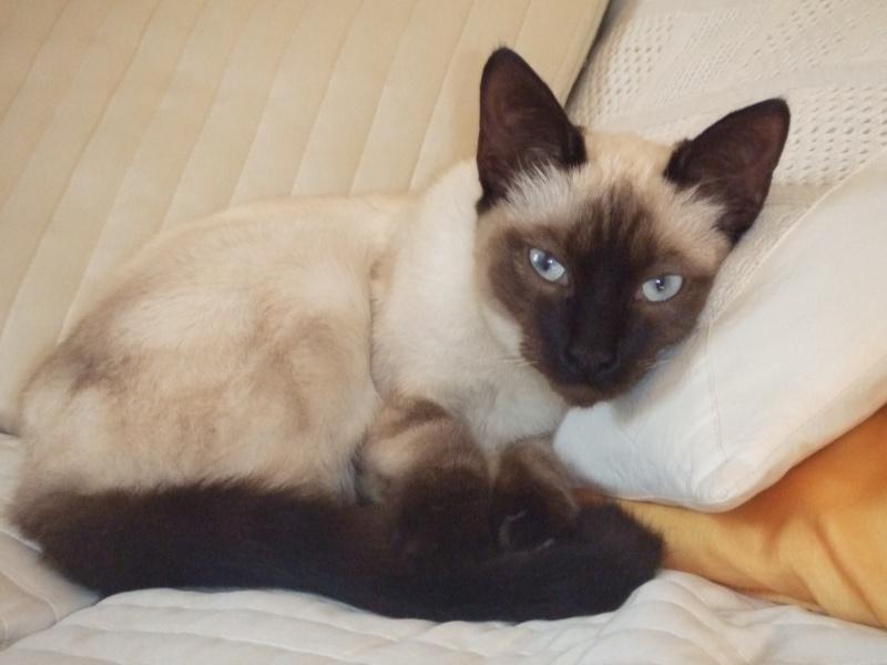 Trouvé à Colomiers, chatte typée siamoise - Avril 2011 Trouve24