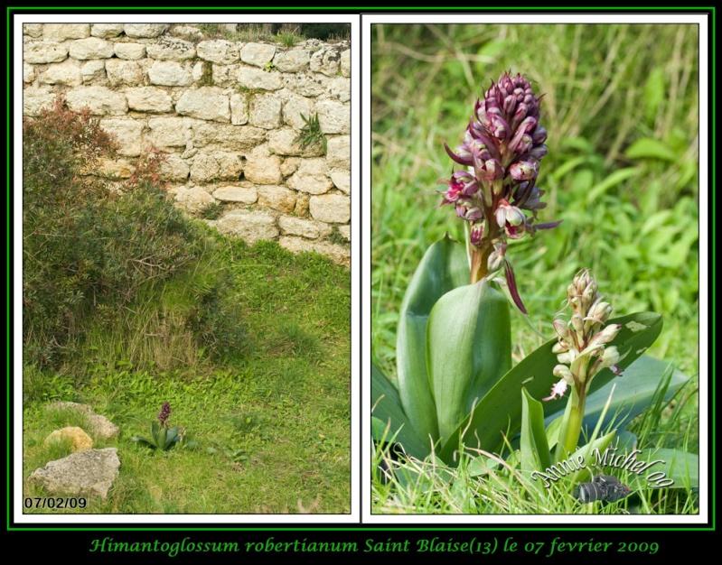 Himantoglossum robertianum (Barlia, Orchis géant ) 11-bar10