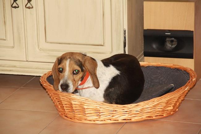 PEPETTE, beagle femelle, 2 ans (46) Img_5910