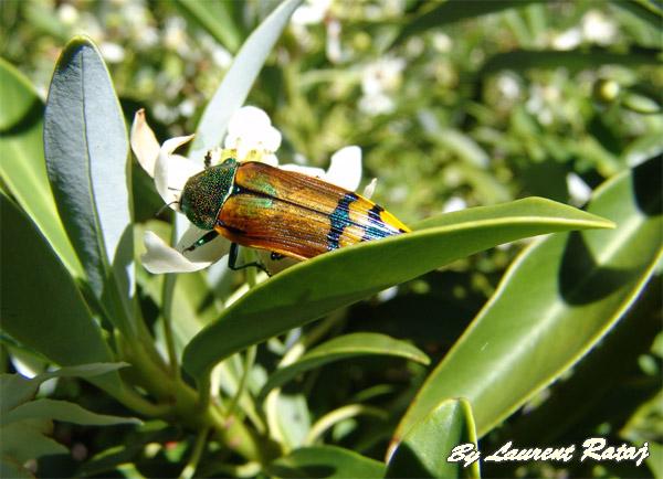 Buprestidae Chili Bupres10