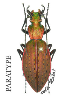 [Ceroglossus chilensis latemarginatus], Chili Buquet11