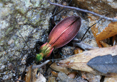 [Ceroglossus chilensis latemarginatus], Chili Cerogl10