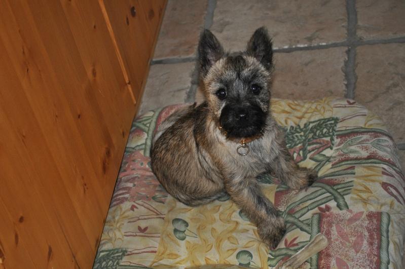 Alinka    cairn terrier Dsc_0015