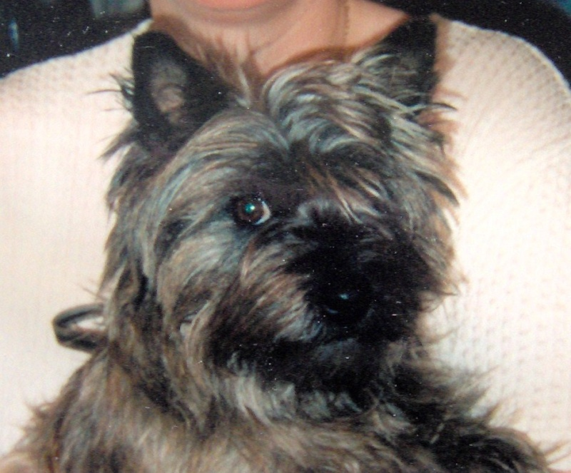 Cookie Cairn terrier Im000727