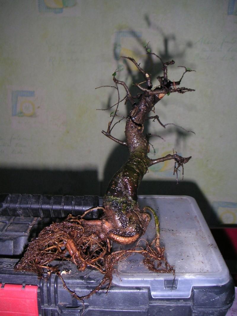 Histoire d'un petit orme de jardinerie Z25_fa10