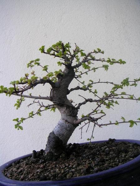 Histoire d'un petit orme de jardinerie Z25_ma10